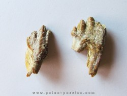 BASILOSAURUS teeth (4)
