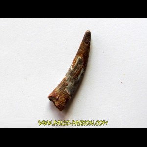 PTEROSAUR tooth: SIROCCOPTERYX (1)