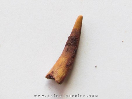 PTEROSAUR tooth: SIROCCOPTERYX (3)