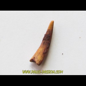 PTEROSAUR tooth: SIROCCOPTERYX (3)