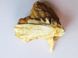 enchodus lybicus (4)
