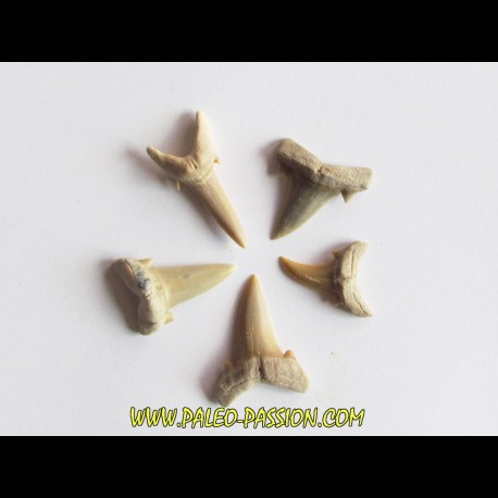 set of 5 CARCHARIAS TWIGGSENSIS (4)