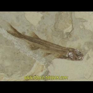LYCOPTERA DAVIDII (5)