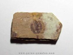 Phyllograptus Typus (2)