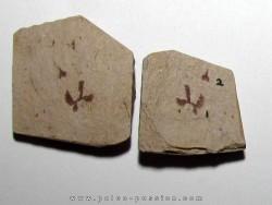 Tetragraptus Serra - Isograptus Caduceus (1)