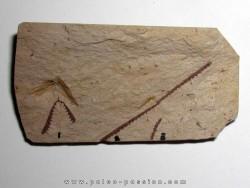 Tetragraptus Fruticosus - Didymograptus Protobifidus - T. Serra