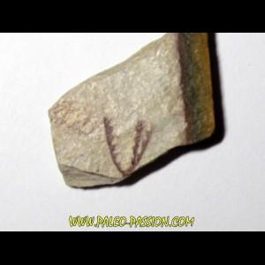 Tetragraptus Fruticosus (1)
