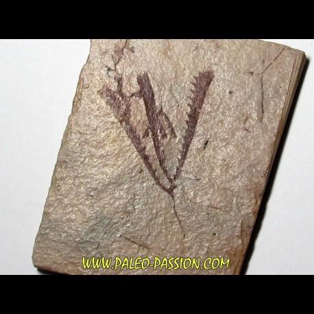 Tetragraptus Fruticosus (2)