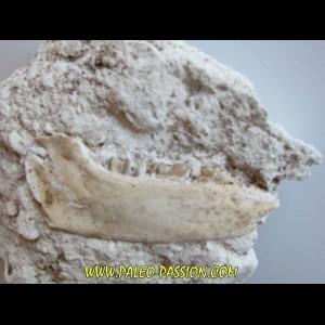 plagiolophus minor (3)