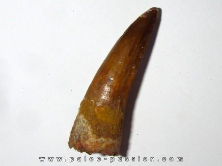 dent de SPINOSAURE AEGIPTICUS (38)