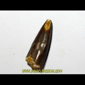 sauropode REBBACHISAURUS (3)