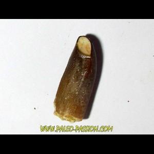 sauropode REBBACHISAURUS (7)
