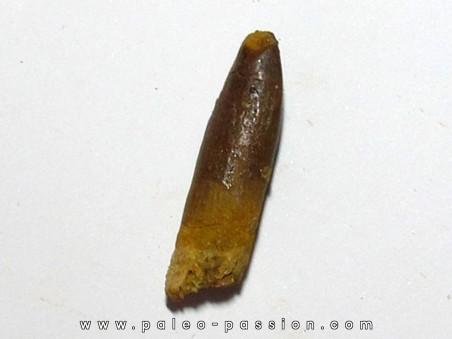 sauropode REBBACHISAURUS (9)