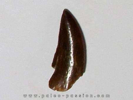 dinosaur tooth DELTADROMEUS AGILIS (14)