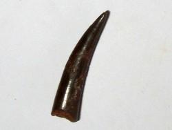 PTEROSAUR tooth: SIROCCOPTERYX (5)