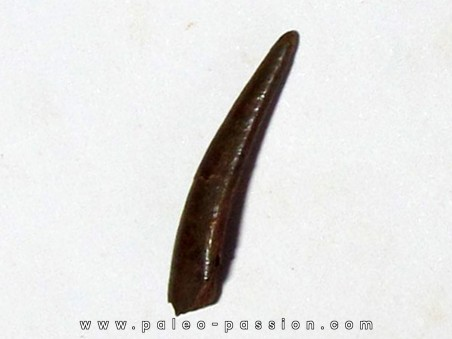PTEROSAUR tooth: SIROCCOPTERYX (6)