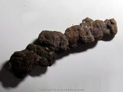 coprolithe - cenozoique - madagascar (8)