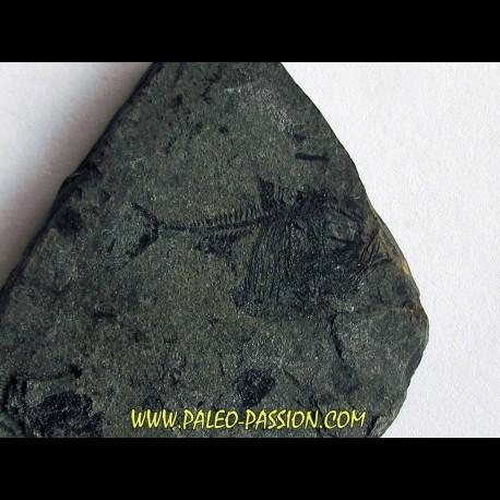argyropelecus cosmovicii