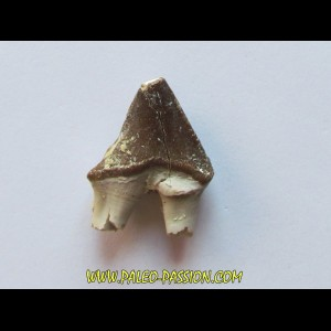 PAPOCETUS tooth (1)