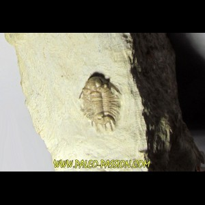 acanthopyge consanguinea