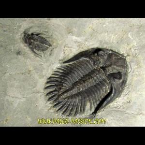 Bbellacartwritghtia callitelesian & Ontarion craspedota