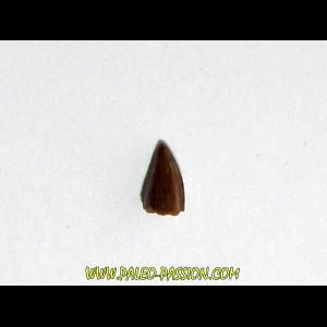 phytosaur tooth (2)