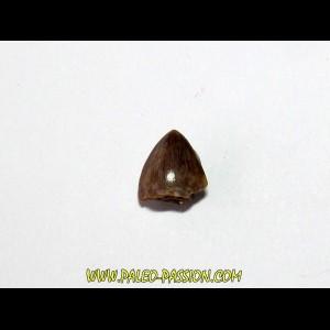 phytosaur tooth (4)