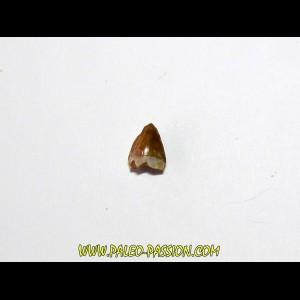 dent de phytosaure (5)
