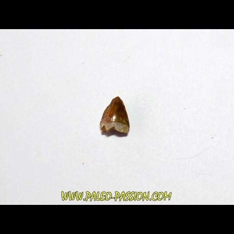 phytosaur tooth (5)