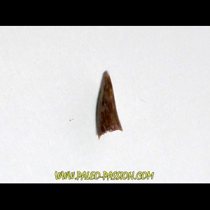 ophiacodon tooth (1)