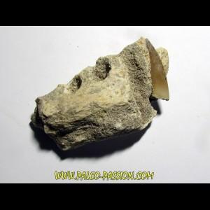machoire d'elasmosaure: zarafasaura oceanis (2)