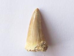 MOSASAURE  tooth Platecarpus ptychodon (2)