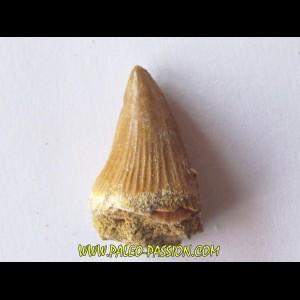 DENT DE MOSASAURE   Platecarpus ptychodon  (3)