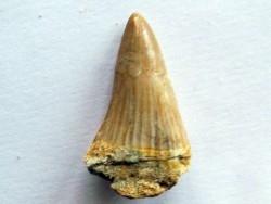 MOSASAURE  tooth Platecarpus ptychodon (5)