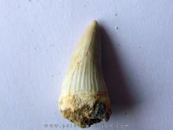 MOSASAURE  tooth Platecarpus ptychodon (9)