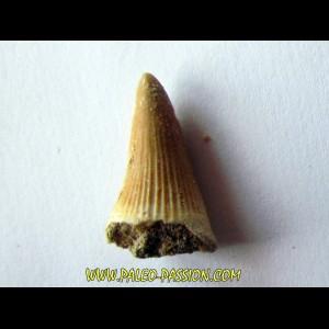 DENT DE MOSASAURE   Platecarpus ptychodon  (10)