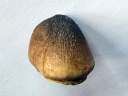MOSASAURE  tooth Globidens phosphaticus (2)