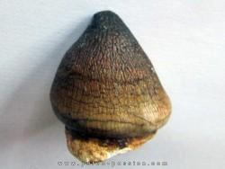 MOSASAURE  tooth Globidens phosphaticus (3)