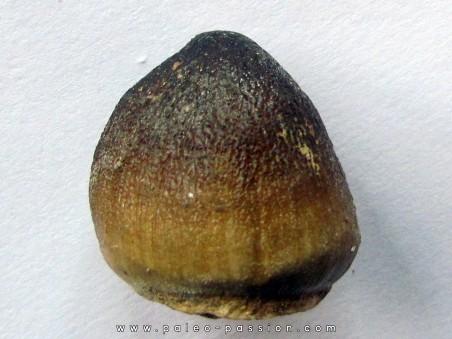 DENT DE MOSASAURE   Globidens phosphaticus  (4)
