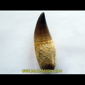 PROGNATHODON sp. tooth (2)