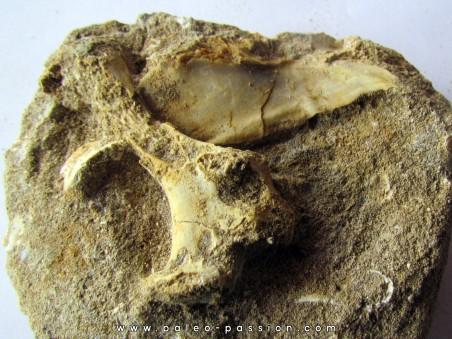 scapula et sternum de pterosaure : Alcione elainus