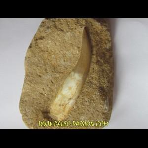 dent d'elasmosaure: zarafasaura oceanis (1)