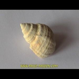 Microschiza clathrata