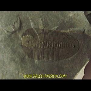 Bathyuriscus fimbriatus (1)
