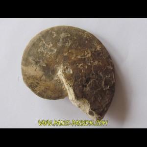 Choffaticeras sinaiticum  (1)