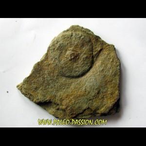 Cyclomedusa davidii