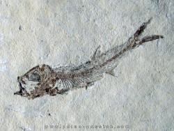 Leptolepis voithi - kimmeridgien  - Orbagnoux (1)