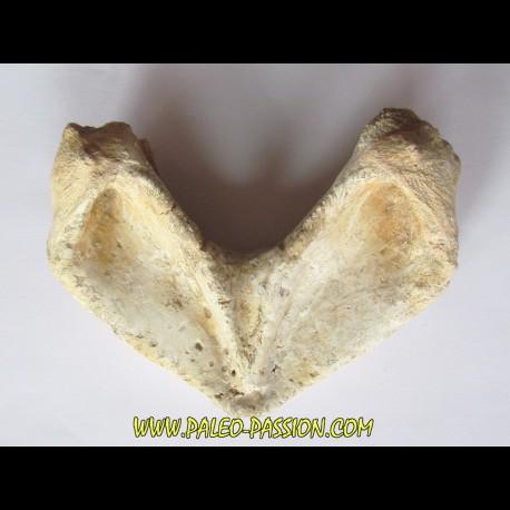 turtle mandible:  bothremys sp.