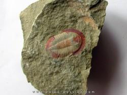 Asaphellus fezouatensis (1)