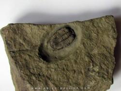 parabathycheilus cf. gallicus (2)